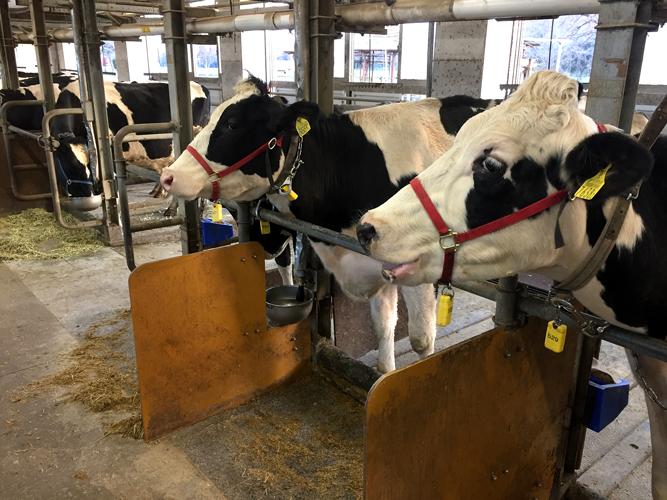 牛の傷病管理ソリューションを導入している牛舎の乳牛